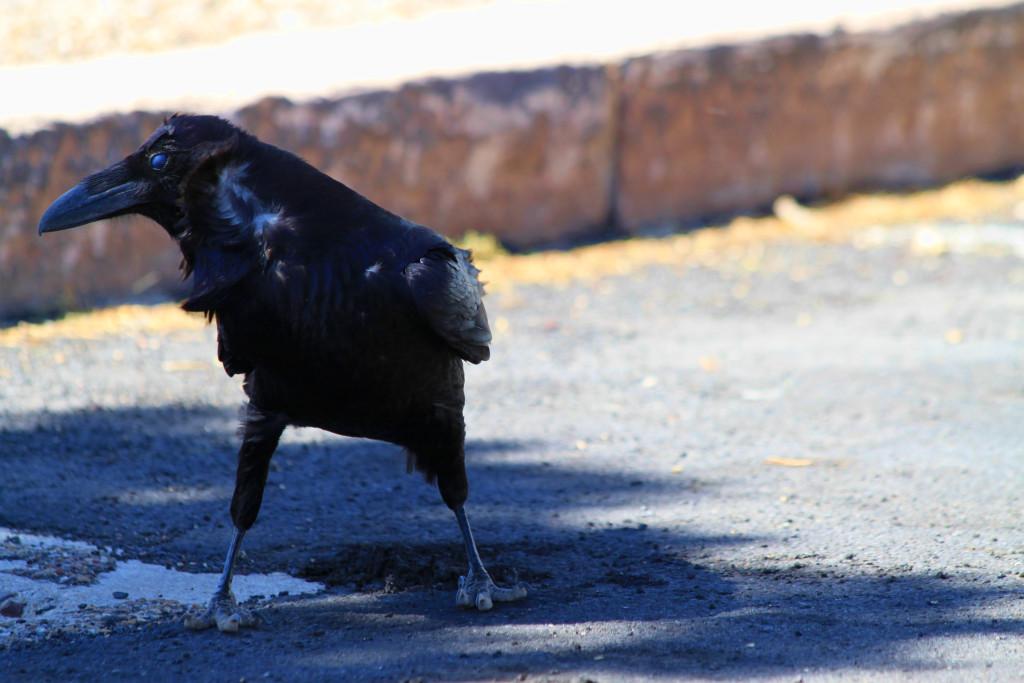 Windswept Crow