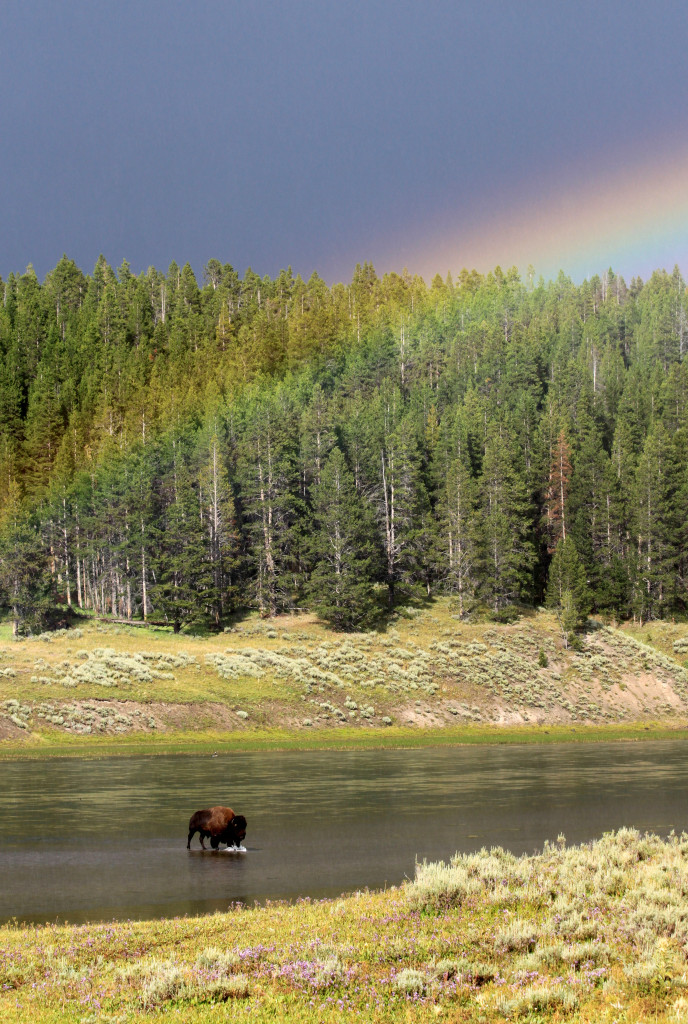 Buffalo Crossing a River, with Rainbow